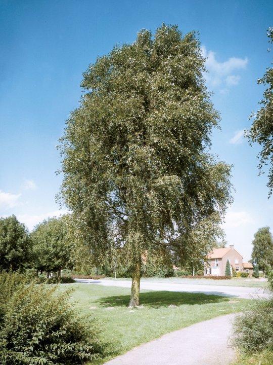 Populus-simonii-fastigiata