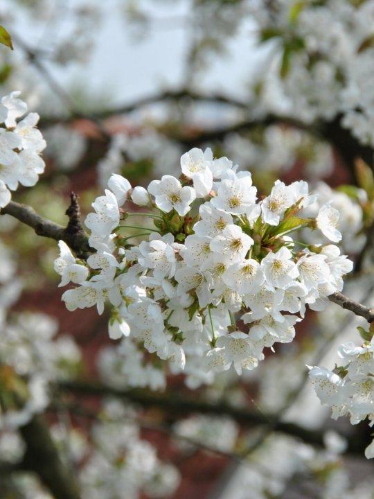 Prunus-avium