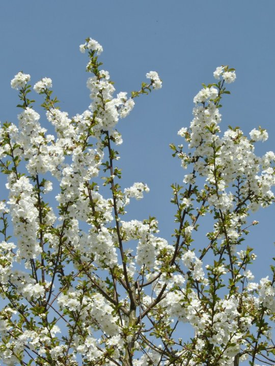 Prunus-gondouinii-schnee