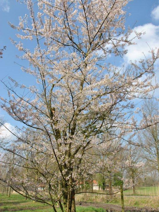 Prunus-incisa