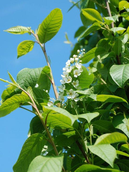 Prunus-padus-schloss-tiefurt