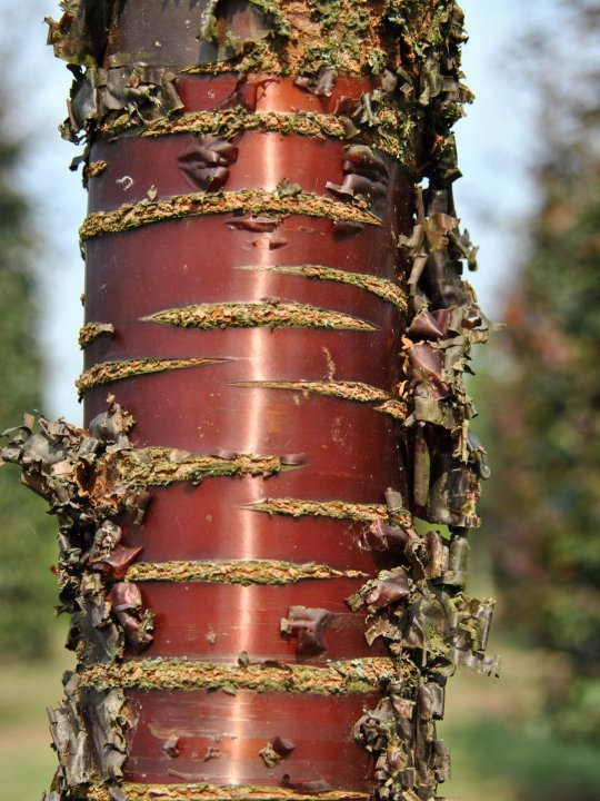Prunus-serrula