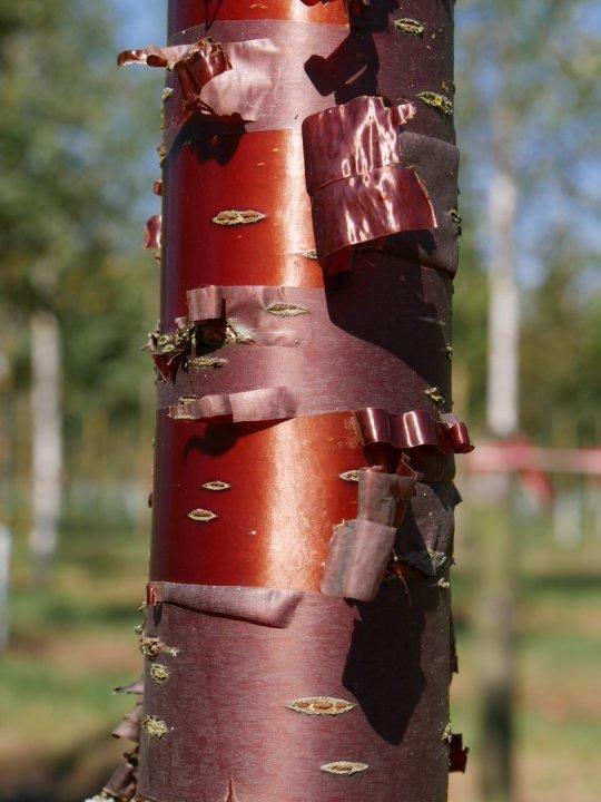Prunus-serrula-branklyn