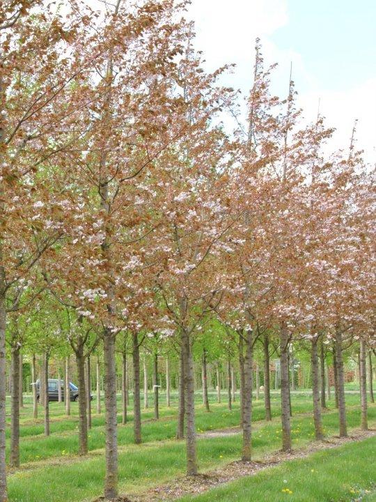 Prunus-serrulata-fugenzo