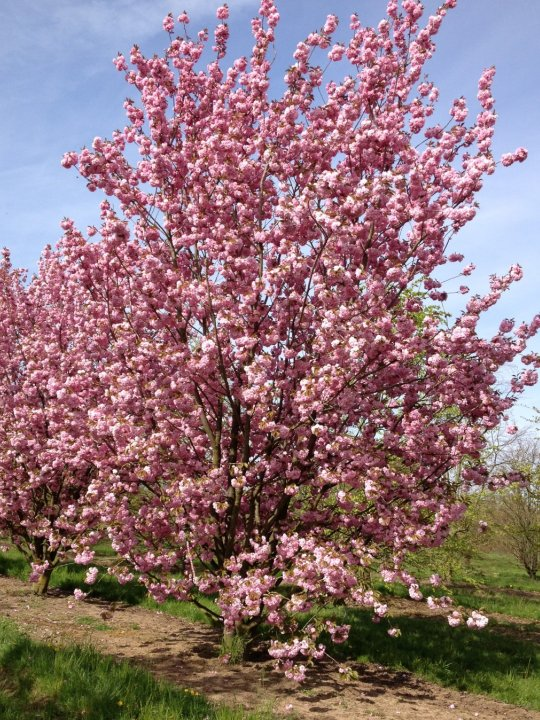 Prunus-serrulata-kanzan
