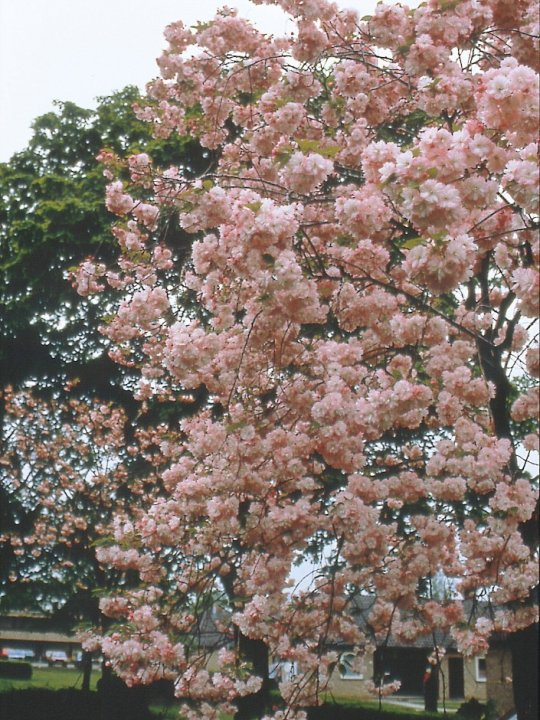 Prunus-serrulata-pink-perfection