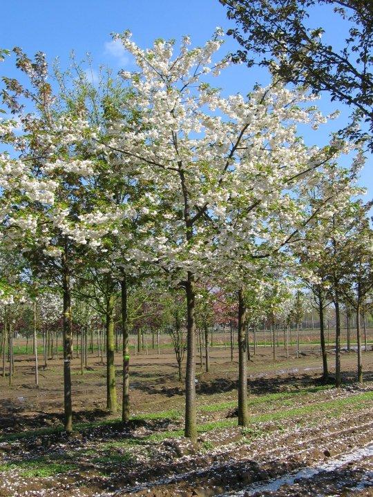 Prunus-serrulata-shirotae