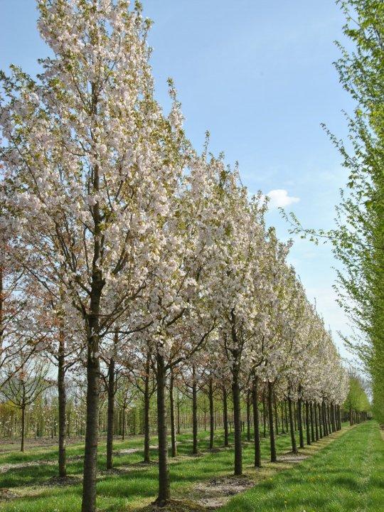 Prunus-serrulata-sunset-boulevard