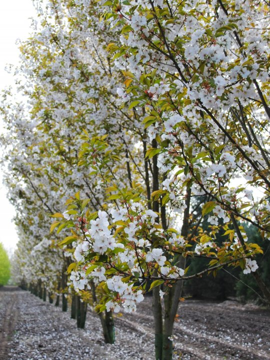 Prunus-serrulata-taihaku