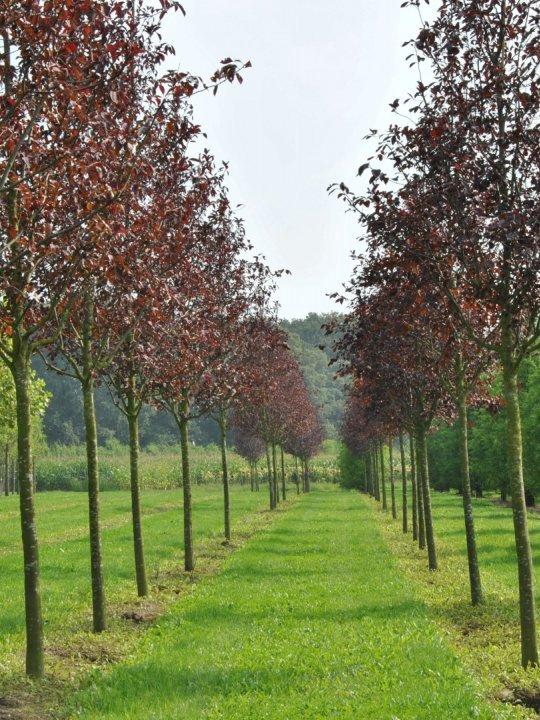Prunus-virginiana-canada-red