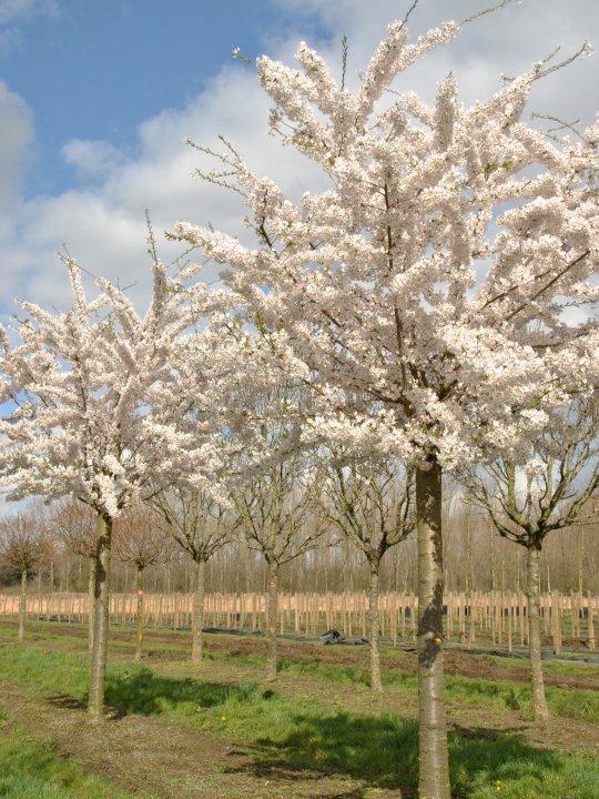 Prunus-yedoensis