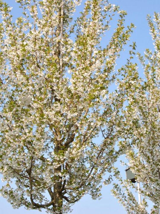 Prunus-umineko