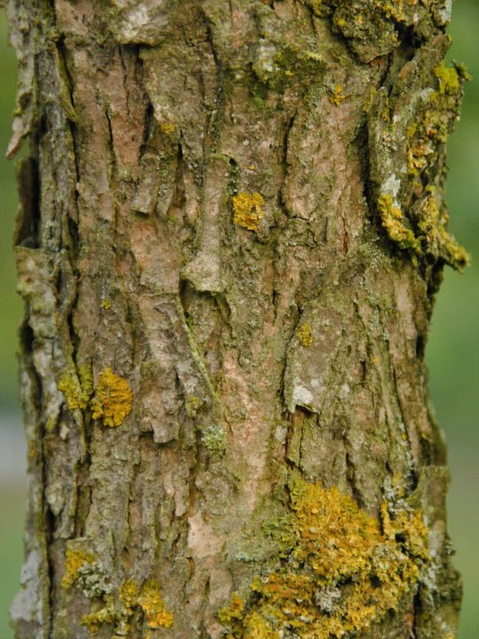 Quercus-bicolor