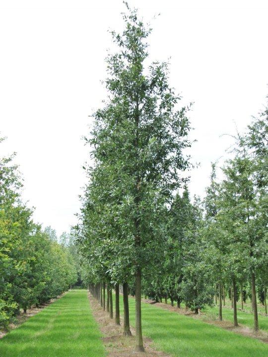 Quercus-castaneifolia-green-spire