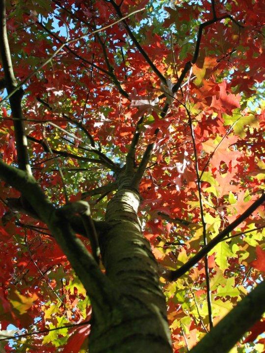 Quercus-coccinea-splendens