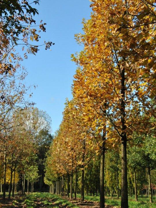 Quercus-frainetto