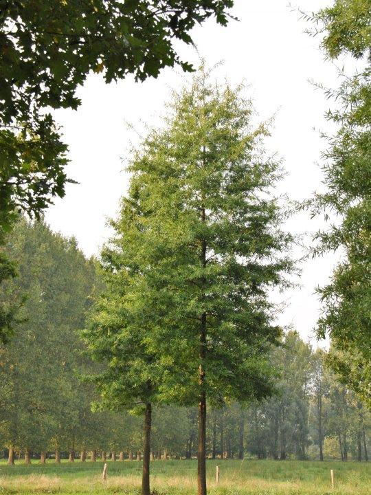Quercus-phellos