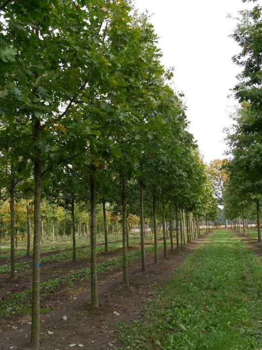 Quercus-rubra