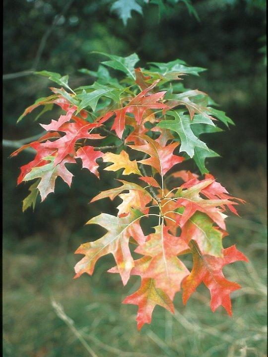 Quercus-shumardii