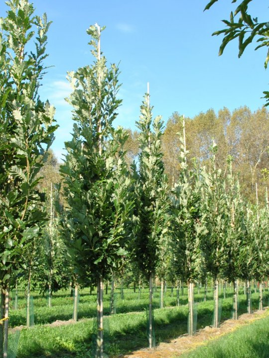Quercus-warei-kindred-spirit-nadler
