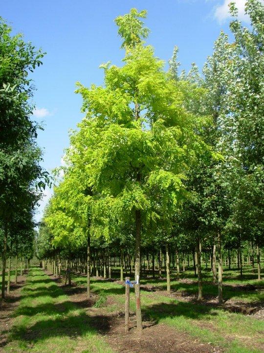 Robinia-pseudoacacia-frisia