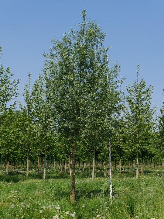 Salix-alba-belders