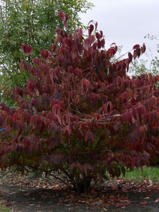Viburnum-plicatum-mariesii