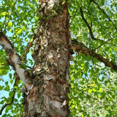 Betula nigra – Zwarte berk of Rode berk