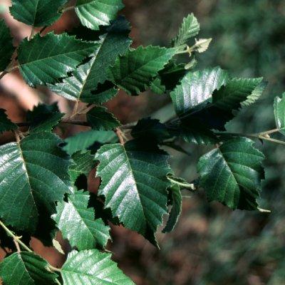 Betula nigra DURA HEAT ('BNMTF')