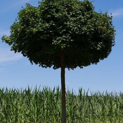Acer campestre 'Nanum'