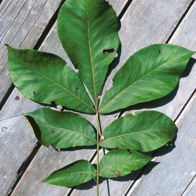 Carya glabra  – Gladbladige bitternoot