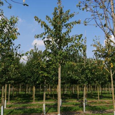 Acer capillipes – Slangenhuidesdoorn
