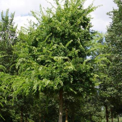 Celtis occidentalis – Westerse netelboom, Zwepenboom