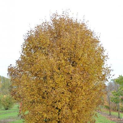 Acer monspessulanum – Franse esdoorn