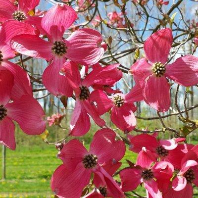 Cornus florida 'Red Giant'