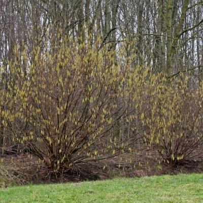 Corylus avellana – Gewone hazelaar