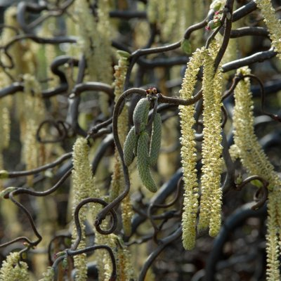 Corylus avellana 'Contorta' – Kronkelhazelaar