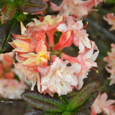 Rhododendron (AK) 'Cannon's Double'