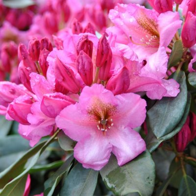 Rhododendron 'Duke of York'