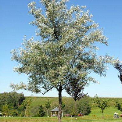 Elaeagnus angustifolia – Smalbladige olijfwilg