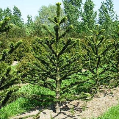 Araucaria araucana – Apenboom, Slangenden