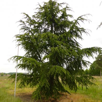 Cedrus libani subsp. atlantica – Atlasceder