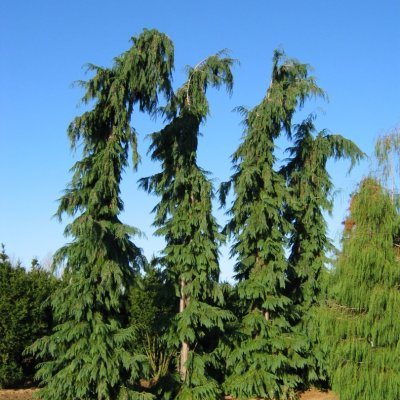 Chamaecyparis lawsoniana 'Dik´s Weeping'