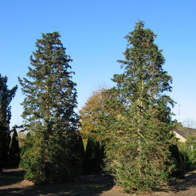 Chamaecyparis lawsoniana 'Wisselii'