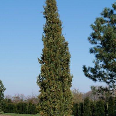 Cupressus sempervirens – Italiaanse cypres