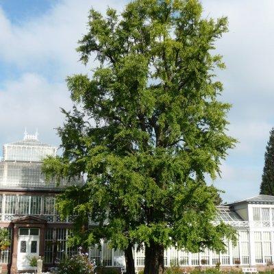 Ginkgo biloba – Japanse notenboom