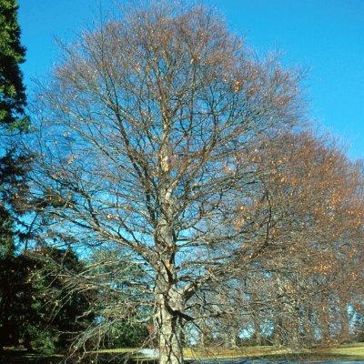 Fagus grandifolia – Amerikaanse beuk