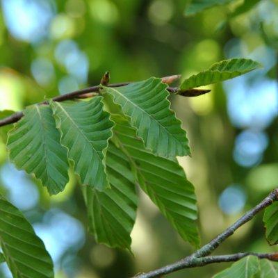 Fagus grandifolia var. caroliniana