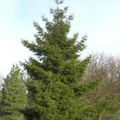 Picea orientalis – Kaukasische spar