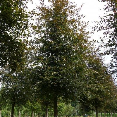 Fagus sylvatica 'Atropunicea' – Bruine beuk